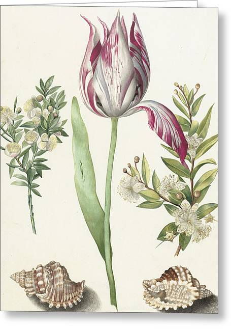 Tulip Greeting Card by Maria Sibylla Graff Merian