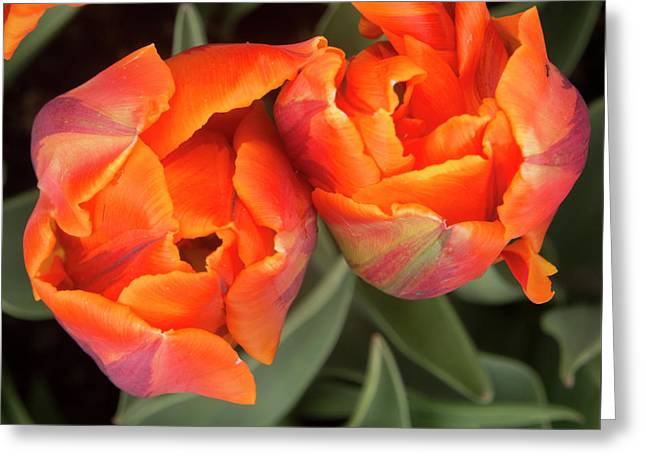 Tulip Pair Greeting Card by Jean Noren