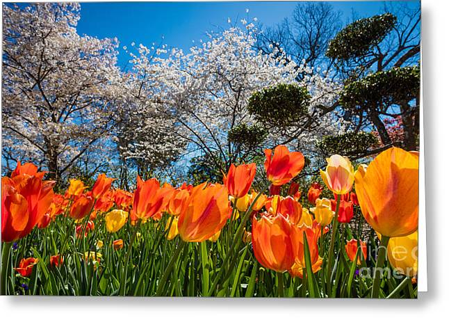 Tulip Panorama Greeting Card by Inge Johnsson