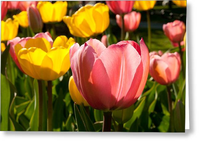 Tulip Pastels Greeting Card by Charlet Simmelink