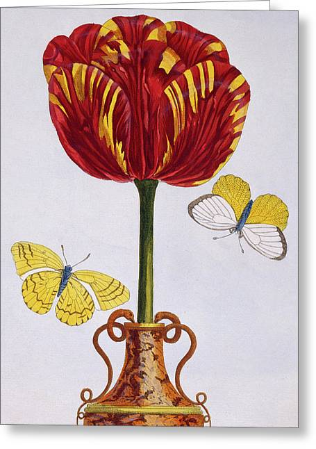 Tulip Greeting Card by Pierre-Joseph Buchoz