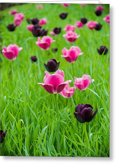 Tulip Popping Greeting Card by Kristopher Schoenleber