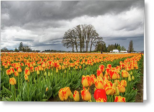 Tulip Rows Greeting Card by Jean Noren