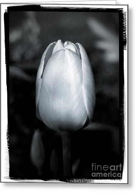 Tulip Greeting Card by Sergey Matushevskiy