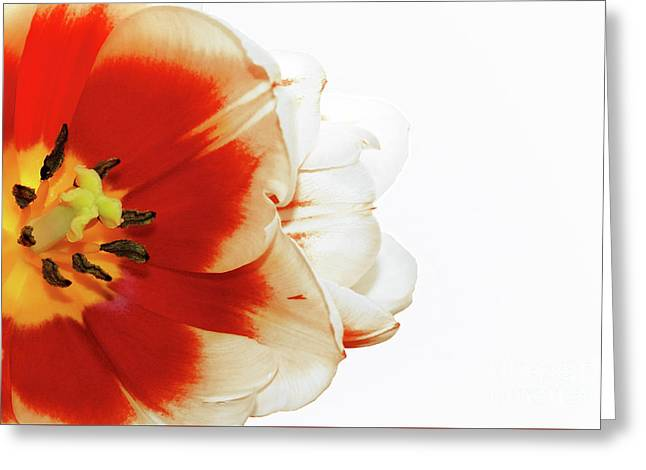Tulip Statement Greeting Card
