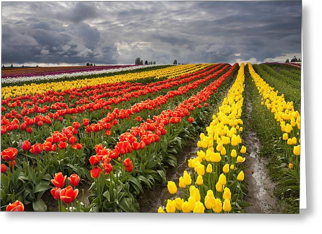 Tulip Storm Greeting Card by Mike  Dawson