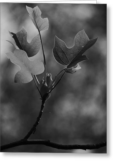 Tulip Tree Leaves In Spring Greeting Card by Jane Ford