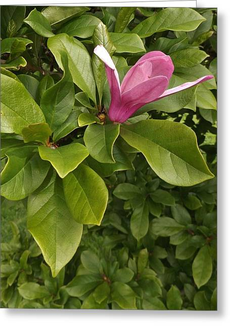 Tulip Tree Pink Bloom        Spring    Indiana Greeting Card by Rory Cubel