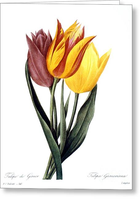 Tulip (tulipa Gesneriana) Greeting Card by Granger