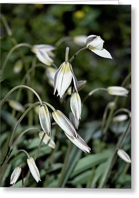Tulipa Turkestanica Greeting Card