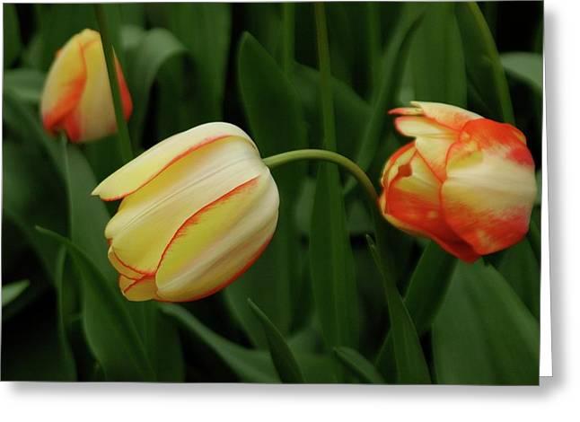 Nodding Tulips Greeting Card