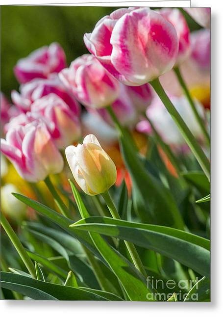 Greeting Card featuring the photograph Tulips by Angela DeFrias