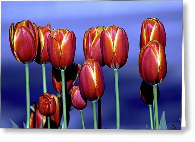 Tulips At Attention Greeting Card