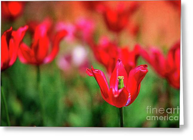 Tulips At Honor Heights Greeting Card by Tamyra Ayles