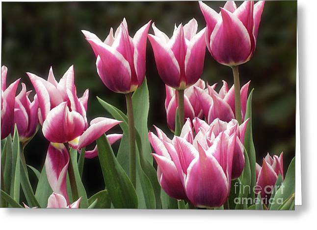 Tulips Bed  Greeting Card by Kim Tran