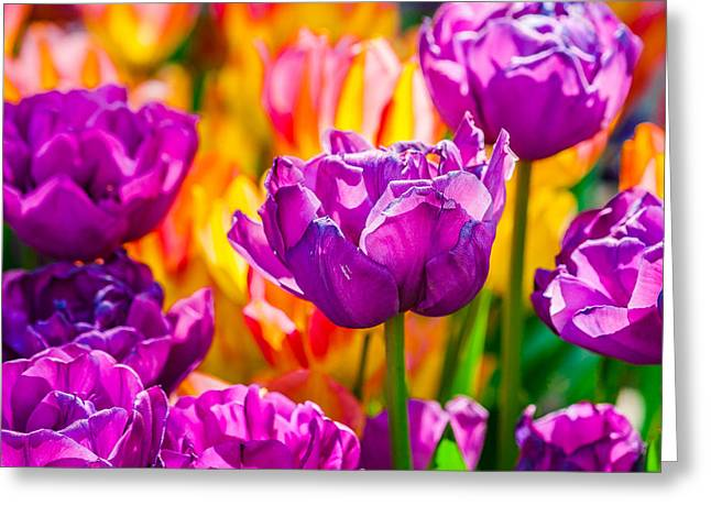 Greeting Card featuring the photograph Tulips Enchanting 41 by Alexander Senin