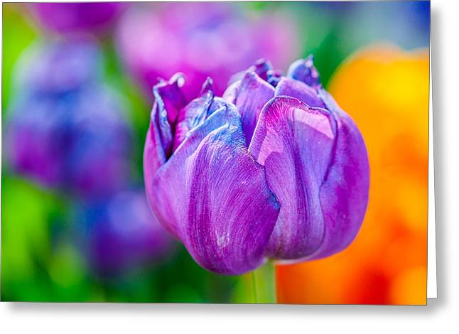 Greeting Card featuring the photograph Tulips Enchanting 47 by Alexander Senin