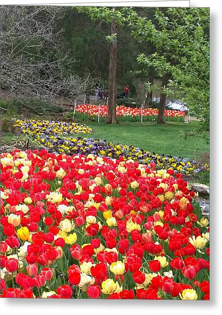 Tulips Galore  Greeting Card by Gayle Miller
