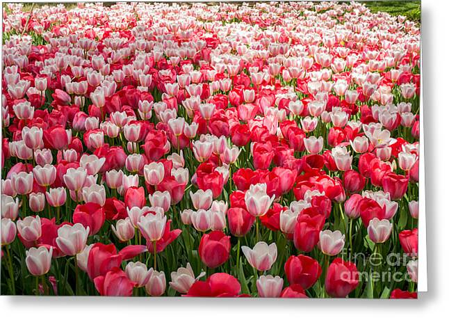 Tulips Greeting Card by Holden Parker