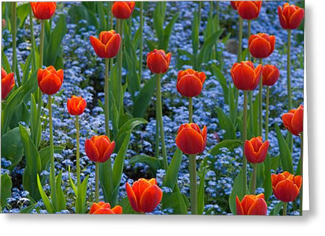 Tulips In A Garden, Butchart Gardens Greeting Card by Panoramic Images