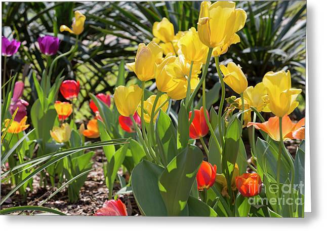 Tulips In A Garden In Spring Greeting Card by Louise Heusinkveld