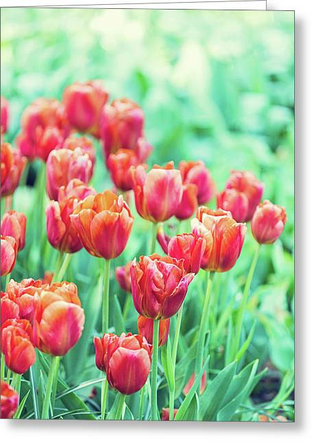 Tulips In Amsterdam Greeting Card