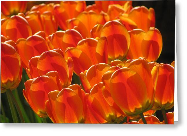 Tulips In Light Greeting Card
