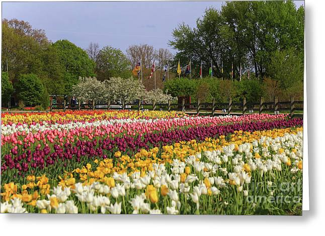 Tulips In Rows Greeting Card