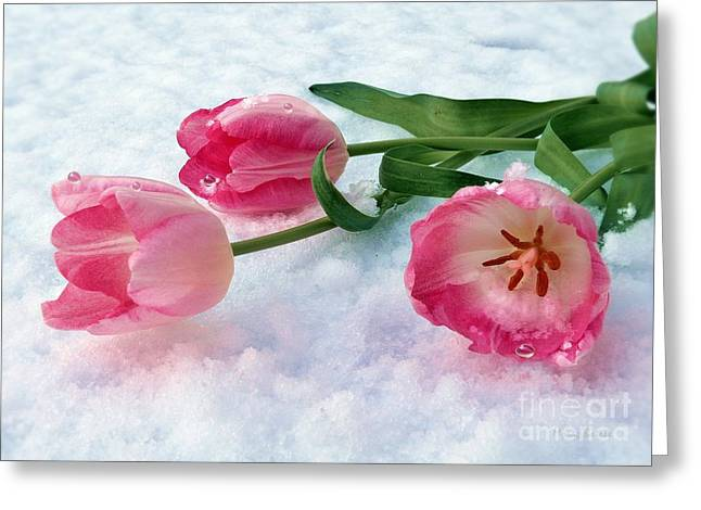 Tulips In Snow Greeting Card