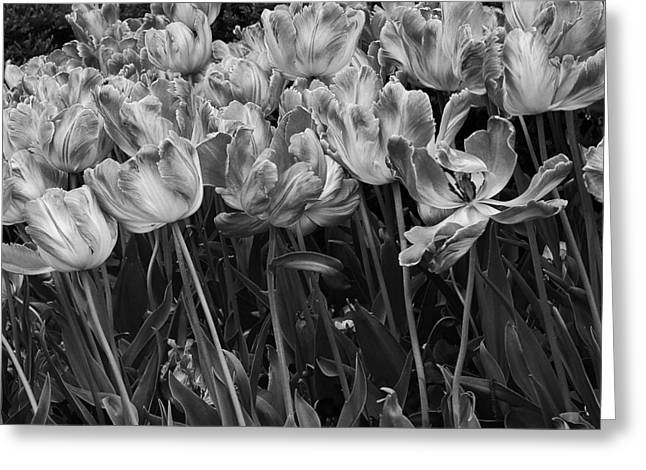 Tulips In The Breeze Greeting Card by Abhi Ganju