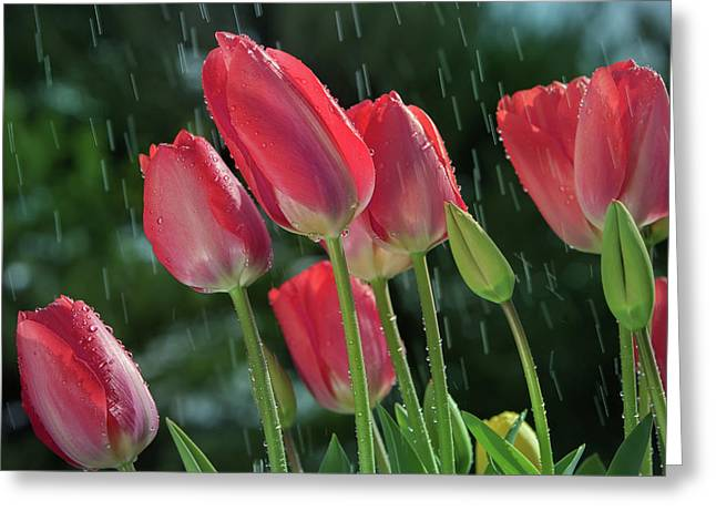 Greeting Card featuring the photograph Tulips In The Rain by William Lee