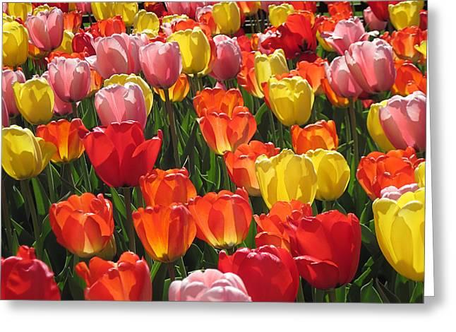 Tulips Like Sunlight Greeting Card