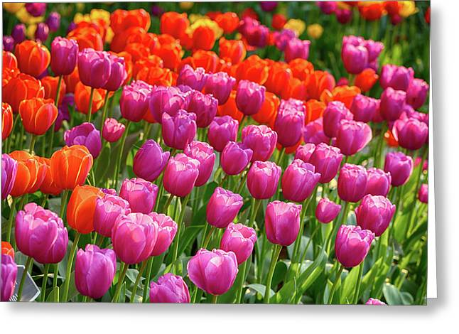 Greeting Card featuring the photograph Tulips Mean Spring by Mary Jo Allen