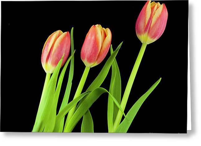 Tulips On Black Greeting Card