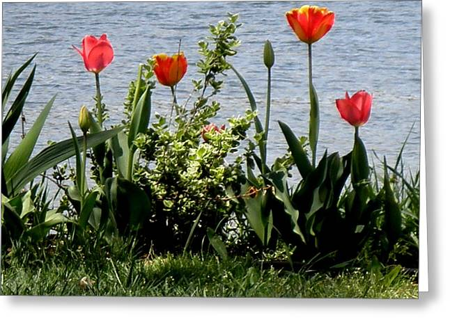 Tulips On The Bay Greeting Card