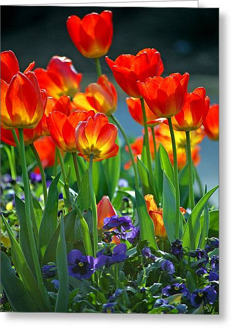 Tulips Greeting Card by Robert Meanor
