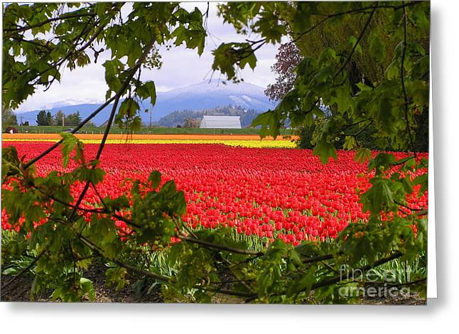 Tulips Secret Window Greeting Card by Louise Magno