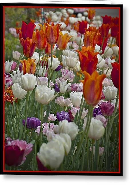 Tulips... Tulips... Everywhere Greeting Card