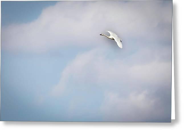 Tundra Swan 2015-8 Greeting Card
