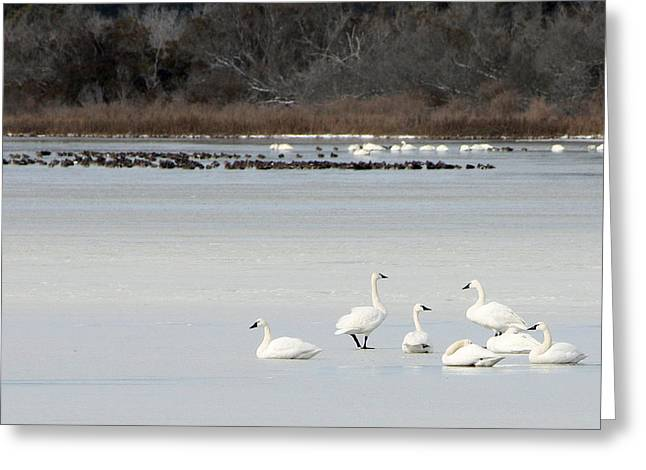 Tundra Swans 1 Greeting Card