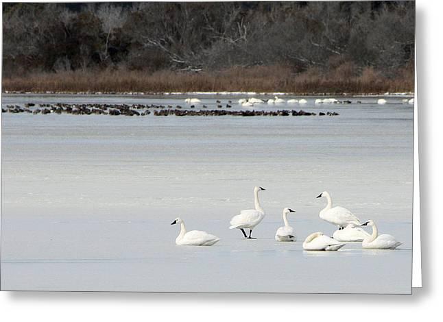 Tundra Swans 1 Greeting Card