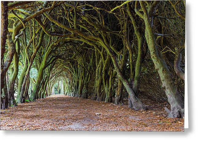 Tunnel Of Intertwined Yew Trees Greeting Card by Semmick Photo