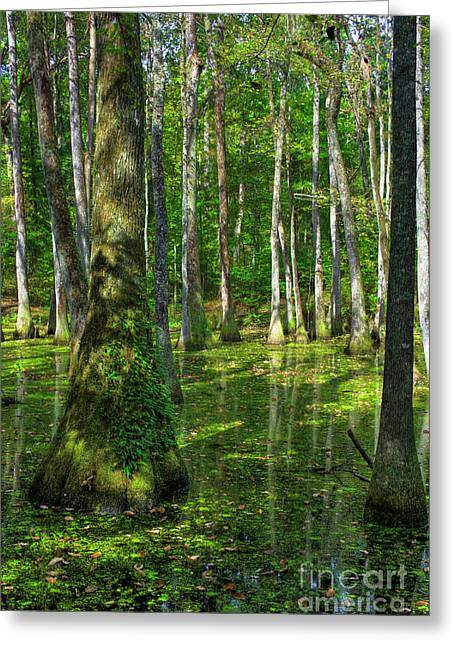 Tupelo Trees In Mississippi  Greeting Card