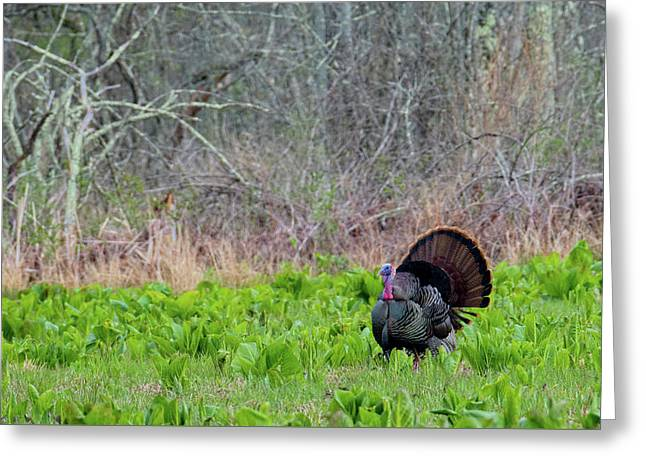 Greeting Card featuring the photograph Turkey And Cabbage by Bill Wakeley