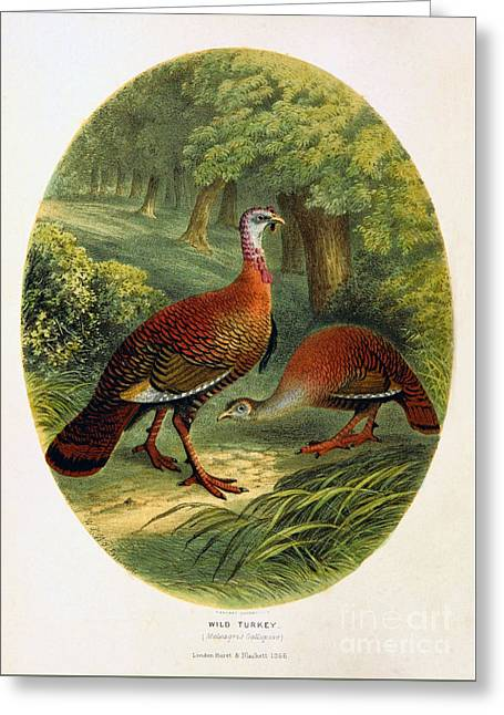 Turkey From The Sportsman And Naturalist Restored Greeting Card by Pablo Avanzini