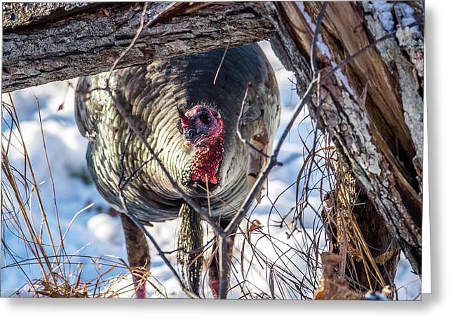 Greeting Card featuring the photograph Turkey In The Brush by Paul Freidlund