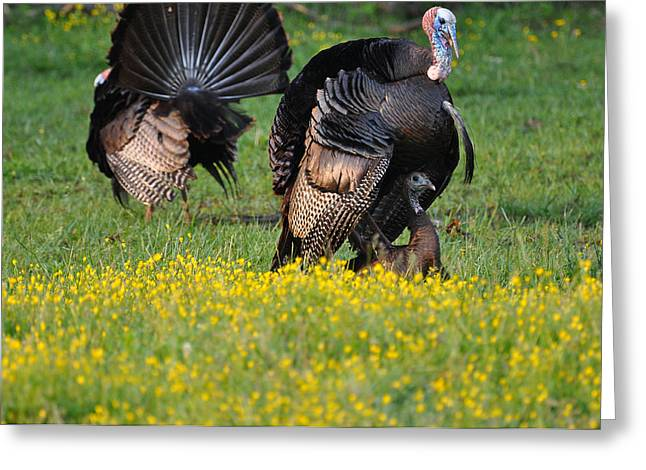 Turkey Love Greeting Card by Todd Hostetter