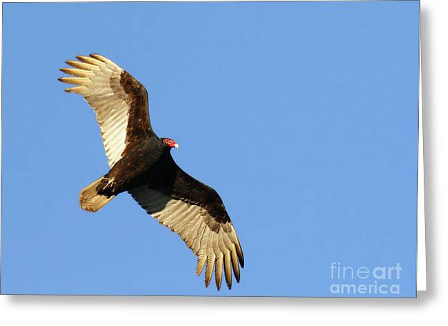 Turkey Vulture Greeting Card by Debbie Stahre
