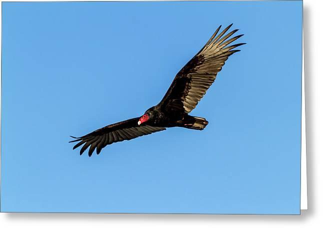 Turkey Vulture In Flight Greeting Card
