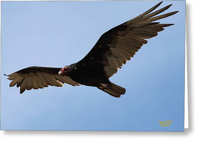 Turkey Vulture Soaring Greeting Card